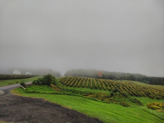 More misty vineyards